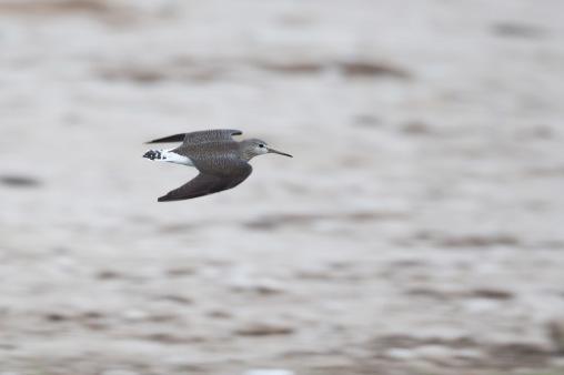 Green sandpiper flight - photo#13
