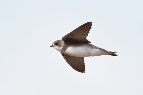 Birds in Flight – ID guide